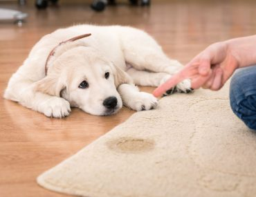 Cleaning pet urine smell with vinegar.